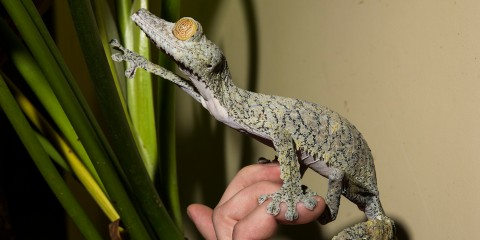 A giant leaf tailed gecko standing on a person's hand and reaching toward large blades of grass