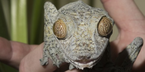 A giant leaf-tailed gecko held in a person's hand and looking directly at the camera