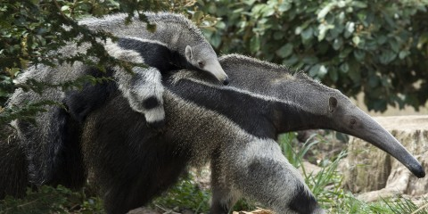 Baby anteater riding piggy back on its mother. They look identical to each other wtih long snouts, gray fur, and black chests
