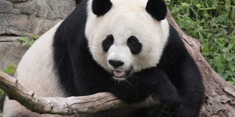 A giant panda leaning over a tree branch