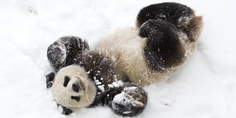 Giant panda in the snow