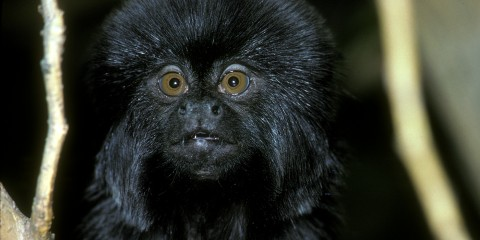 A close-up photo of the face of a small, furry black primate, called a Goeldi's monkey