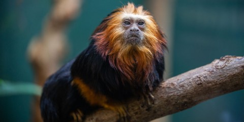 A golden-headed lion tamarin -- a small, furry primate with black and orange fur and an orange-red mane -- perched on a branch