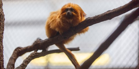 A small, furry, orange primate, called a golden lion tamarin, perched on a branch