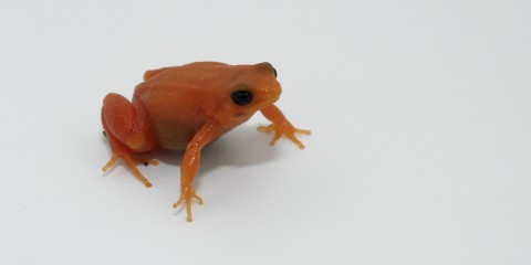 Bright orange small frog with ebony eyes