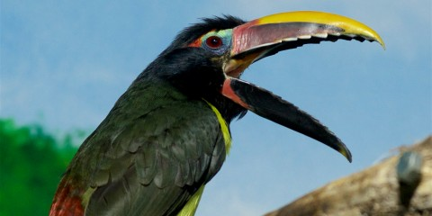 A colorful bird with a large bill, called a green aracari,perched on a branch