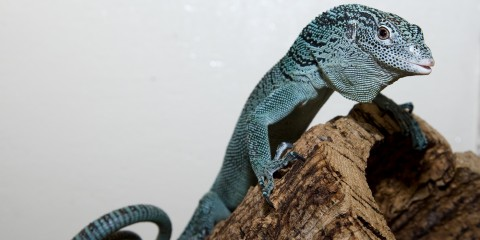 An emerald tree monitor lizard climbing on a branch. The photo has a white background.