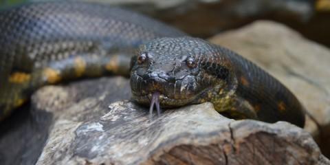 Olive green large snake