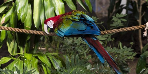 Green-winged macaw on a rope. Its head and tail are scarlet with blue and green mixed in on its wings and tail