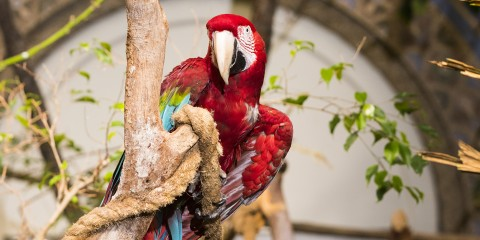 Green Winged Macaw in a tree