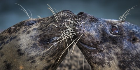 closeup of two harbor seals touching their heads together