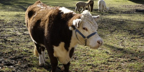 A red and white polled hereford cow named Rose standing in a muddy field