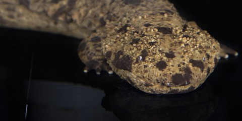 Large, tubular salamander with tan skin and scattered dark blotches. The skin is warty and the eyes tiny.