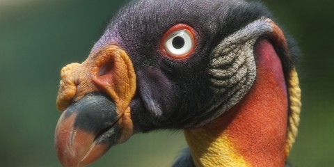 King vulture detail of head and colorful yellow and red neck skin