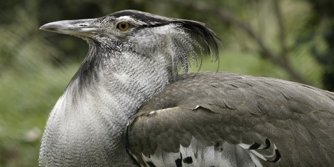Kori bustard close-up showing shaggy neck feathers, a thin sturdy bill, and a black crest