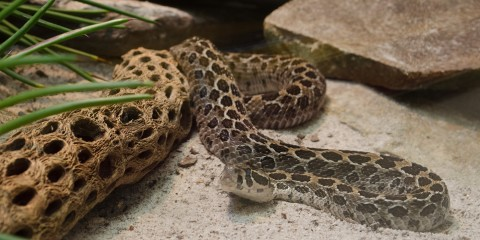 A lance head rattlesnake in the sand