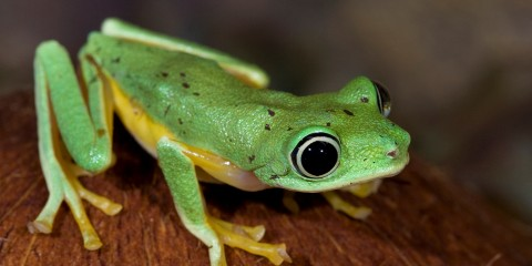 Asian golden tree frog facts images 169