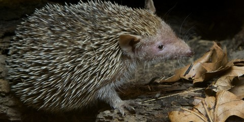Lesser Madagascar Hedgehog Tenrec black background