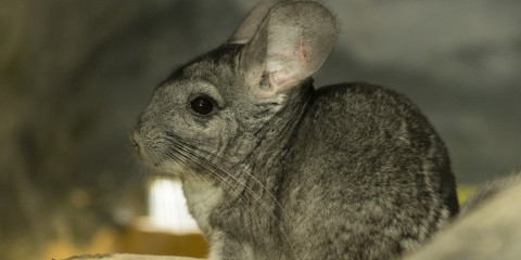 Big ears and long whiskers on a gray-furred animal