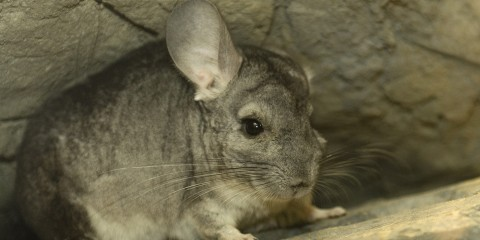 long tailed chinchilla smithsonian s national zoo