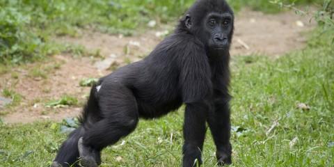 Gorilla sexually dimorphic features