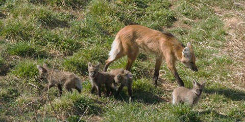 maned wolf and pups