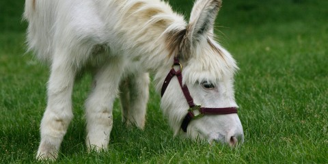 Petite white horselike creature grazing on green grass