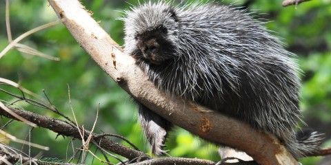 North American porcupine (small, dark colored animal with long white quills) in a tree