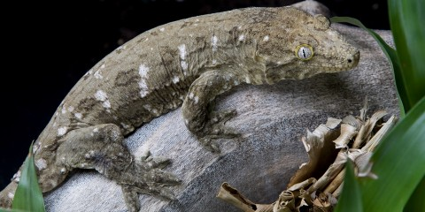 A New Caledonian gecko