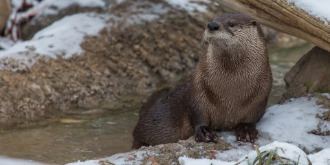 North American river otter | Smithsonian's National Zoo