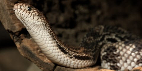 A northern pine snake, with its head and neck lifted
