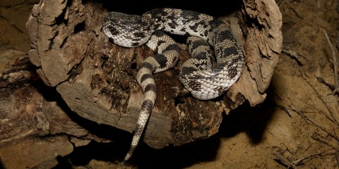 A northern pine snake curled up
