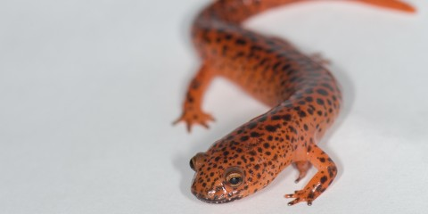 A northern red salamander
