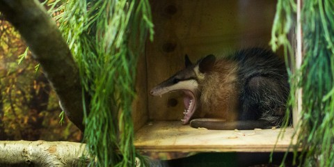 Common opossum | Smithsonian's National Zoo