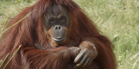 A Bornean orangutan sitting in the grass
