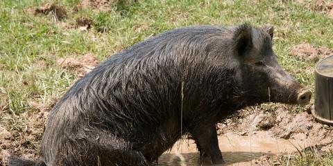 Ossabaw Island hog | Smithsonian's National Zoo