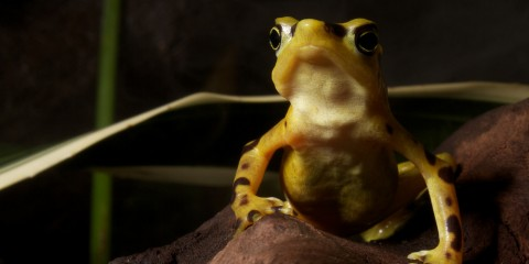 a panamanian golden frog sits on a rock