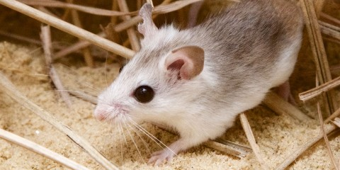 A Perdido Key beach mouse, a small rodent with light-colored fur, large black eyes, large ears and whiskers, walks through sand and reeds