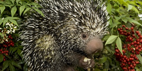 Black and white spiky quills adorn the entire body of this medium-sized mammal