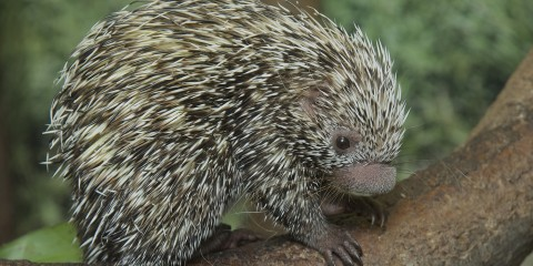 Prehensile Tailed Porcupine on a branch