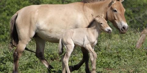 Przewalskis Wild Horse