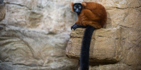A red-ruffed lemur with thick, red fur, a black chest, face and hands, a long black tail, white eyes and red ear tufts sits on a rock