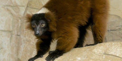 Monkey-like animal with reddish-brown fur and front feet that look remarkably handlike