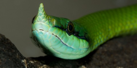 A close up of a green snake, called a rhinoceros snake, with a horn protruding from the tip of its nose