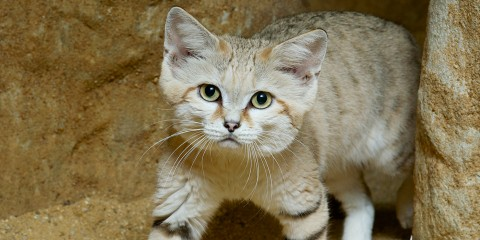 Sand cat | Smithsonian's National Zoo