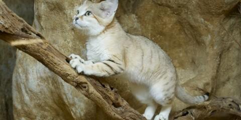 Sand cat | Smithsonian's National Zoo