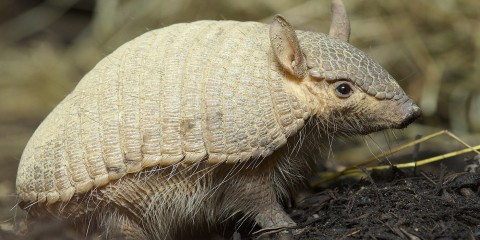 Screaming Hairy Armadillo straw background