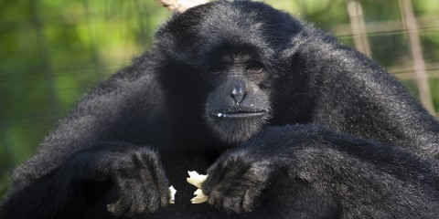 Black monkey holding an empty eggshell