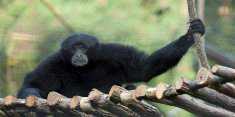 Siamang | Smithsonian's National Zoo