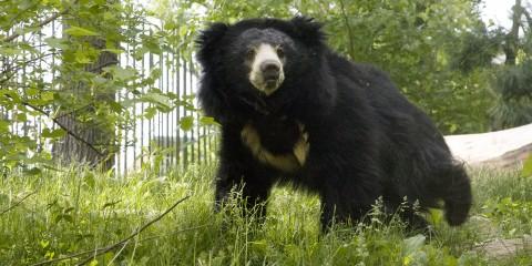 Sloth bear | Smithsonian's National Zoo